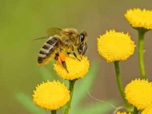 تعد حبوب اللقاح من اهم اسباب تبلور العسل