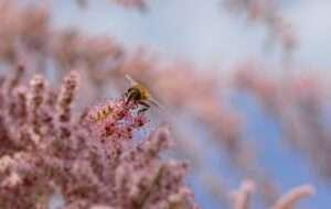 نحلة تتغذى على شجرة الاثل بهدف انتاج عسل الاثل او عسل الصال