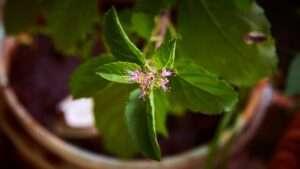 أهم الأطعمة والأعشاب التي تقوي جهاز المناعة : الريحان المقدس